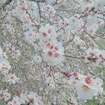 Wieder unten erfreuten wir uns an 20° und der Mandelblüte im Januar :-)