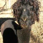 Bad hair day for Truffels the alpaca!