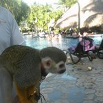 Monkey at the pool