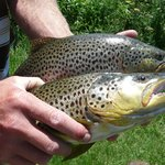 Brown Trout and Rainbow Trout on Henrys Fork