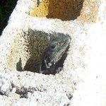wall of iguanas