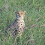 Tsavo West- there were 4 cheetahs all together!