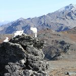 We hung out with the dall sheep for a while