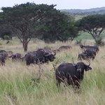 Een kudde buffels