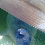 Manatee visiting dock