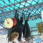 Spectacled flying foxes