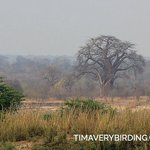 Baobab across the river