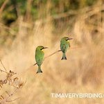 Little Bee-Eaters in the year