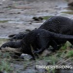 Clawless River Otters on the river