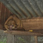 The rarely-seen kinkajou!