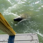 Manatee at the dock