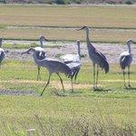 Sandhill Cranes 1-22-14