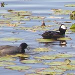 Hooded merganser and coots 1-22-14