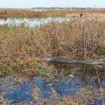Large male alligator