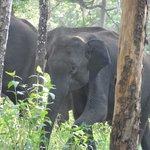 herd of wild elephants
