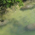 three manatees and fish