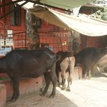 Mrs Bandari's Guesthouse (Amritsar) -cattle next to quest quarters