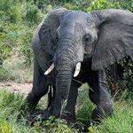 One of many elephants we saw.
