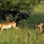 Impala runs by Cape Buffalo