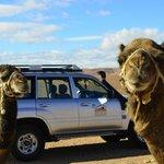 Camels en route!
