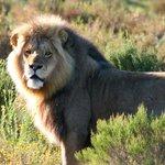 Lion on safari drive
