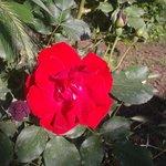 Rose del giardino b&b Magic Garden