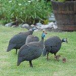 Guinea Fowl Chicks in the garden