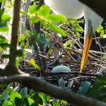Great Egret with egg