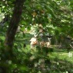 Lots of Deer grazing