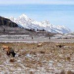 National Elk Refuge with Grand Tetons