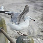 Hartlaub's Gull--you will see and hear them everywhere in the area.