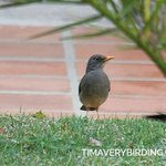 Karoo Thrush in the courtyard