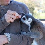 feeding the Lemurs