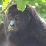Mono aullador comiendo