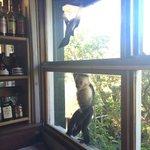Breakfast with White Face monkeys