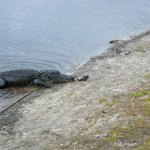 An alligator on the shore