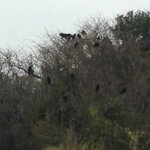 Vultures in the trees