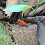 Poison Red Dart Frog