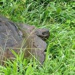 El Chato Tortoise