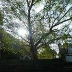 Boh Tree
