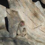 Snow monkeys sans snow