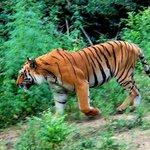Tiger at Dhikala