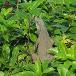 Cool Iguanas on the grounds