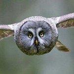 Great Grey Owl/Strix Nebulosa