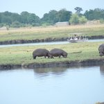 Hippos grazing