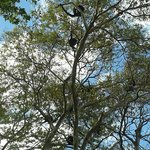 Families of Howler monkeys in nearby trees