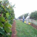 Harvest time picking grapes at Davesté Vineyards