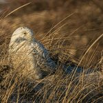 Snowy Owl on the dunes