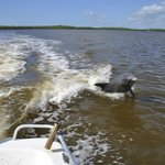 Dolphin jumping in the wake of the boat