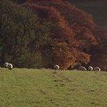 Sheep gazing.  Viewed on Capital Tours